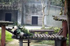 Giant pandas bears Royalty Free Stock Photos