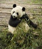Giant pandas bears Royalty Free Stock Photos