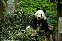 Giant pandas bears Stock Photo