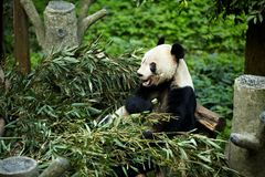 Giant pandas bears Royalty Free Stock Photography
