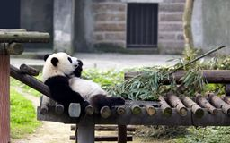 Giant pandas bears Royalty Free Stock Photo