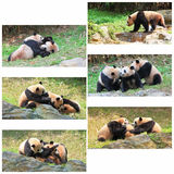 Giant Pandas Collage. A set photoes of pandas playing Royalty Free Stock Photos