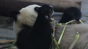 Giant pandas eat bamboo shoots stock footage