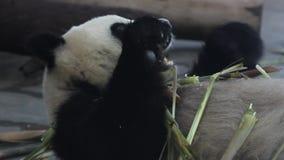 Giant pandas eat bamboo shoots stock footage