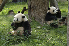 Giant Pandas Feeding. Two Giant Panda Bears feeding on bamboo stock photos