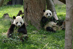 Giant pandas in a field Stock Images