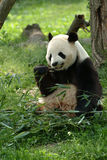 Giant pandas in a field Royalty Free Stock Photo