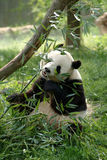 Giant pandas in a field Royalty Free Stock Photography