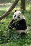 Giant pandas in a field Stock Photography