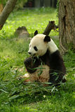 Giant pandas in a field Stock Image