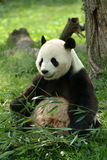 Giant pandas in a field Stock Photo