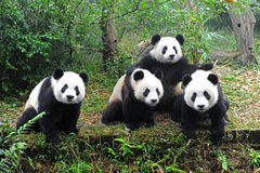 Giant pandas posing for camera royalty free stock photography