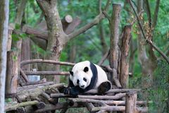 Chengdu panda breeding base. Giant pandas are protected at the national level in chengdu breeding base in sichuan province, China royalty free stock photos