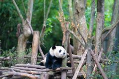 Chengdu panda breeding base. Giant pandas are protected at the national level in chengdu breeding base in sichuan province, China royalty free stock images