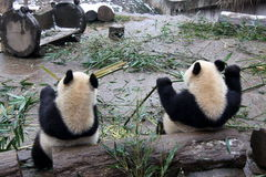 Giant pandas. Two giant pandas are eating bamboo Royalty Free Stock Images