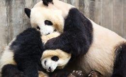 Giant pandas Stock Photos