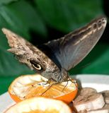 Giant Peacock Moth Royalty Free Stock Photo