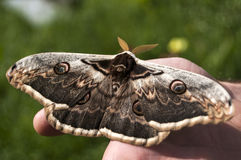 Giant Peacock Moth Royalty Free Stock Image