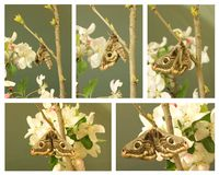 Giant peacock moth collage Royalty Free Stock Photos