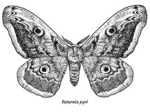 Giant peacock moth illustration, drawing, engraving, ink, line art, vector. Illustration, what made by ink and pencil, then it was digitalized Stock Photography