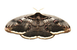 Giant peacock moth Royalty Free Stock Photos
