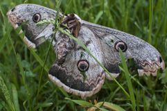Giant peacock moth Stock Photo