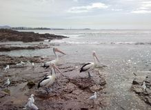 Giant pelicans on beach Royalty Free Stock Image