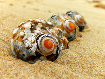Giant Periwinkle shells Royalty Free Stock Photography