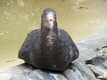 Giant petrel Stock Images
