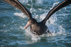Giant Petrel Royalty Free Stock Photography
