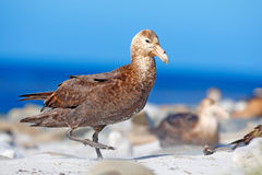 Giant petrel, Macronetes giganticus = giganteus, big sea bird with young in the nest. Bird in the nature habitat. Bird sitting in Stock Photo
