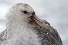 Giant petrel, the vulture of Antarctica Stock Photos
