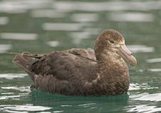 Giant Petrel on the Water Stock Image