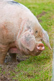 Giant pig Royalty Free Stock Image