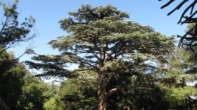 The giant pine tree Stock Photos