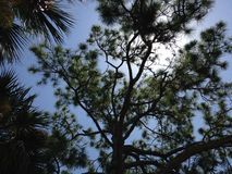 Giant Pine Tree with Seahawk Sitting on It Lit by Sun in Port Orange, Florida. Stock Images