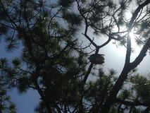 Giant Pine Tree with Seahawk Sitting on It Lit by Sun in Port Orange, Florida. Stock Image