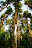 Giant pine trees in the forest Stock Photo