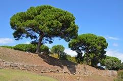 Giant pine trees (Pinus pinea) Royalty Free Stock Photos
