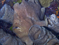 Giant pink frogfish Royalty Free Stock Image