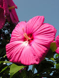 Giant pink hibiscus. A giant pink hibiscus facing the sun Stock Images