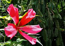 A Giant Pink Plant Stock Photography
