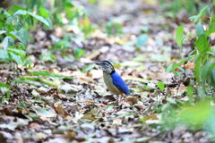 Giant pitta Royalty Free Stock Images
