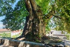 Giant Plane tree in Telavi. Georgia Stock Photo