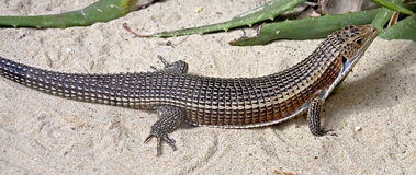 Giant plated lizard 1 Stock Image