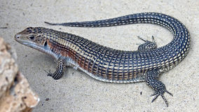 Giant Plated Lizard 2 Stock Photos