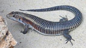 Giant plated lizard 2 Stock Photos