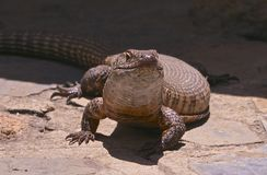 Giant Plated Lizard Royalty Free Stock Photos