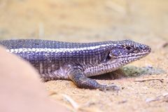 Giant plated lizard. Lying on the soil Stock Photos