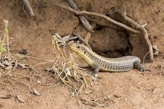 Giant Plated Lizard lying in the sun close to his hole in termit Stock Images